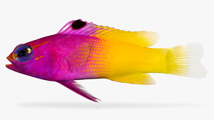 royal gramma 3D