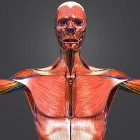 3D model muscles nerves arteries veins