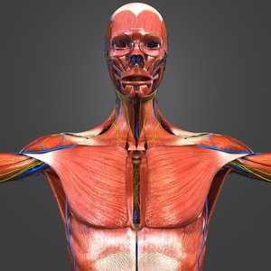 3D model muscles nerves arteries veins