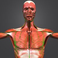 muscles lymphnodes 3D model