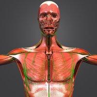 muscles lymphnodes 3D model