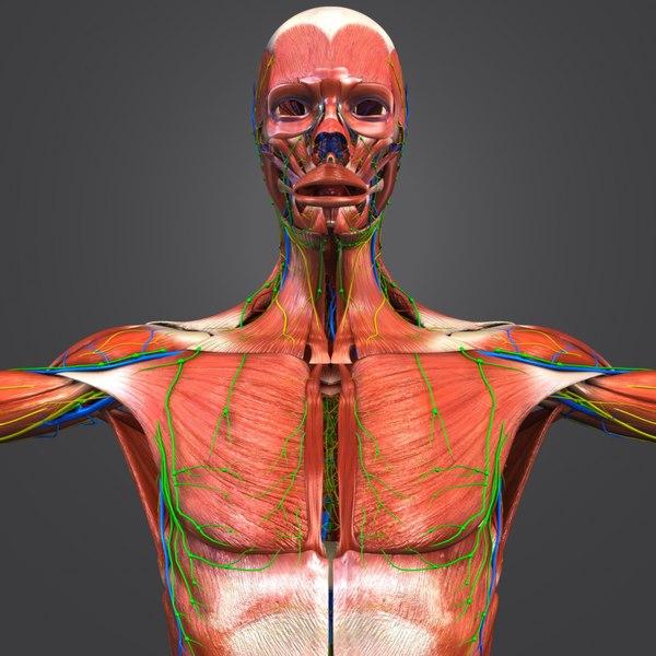 3D muscular muscles nerves