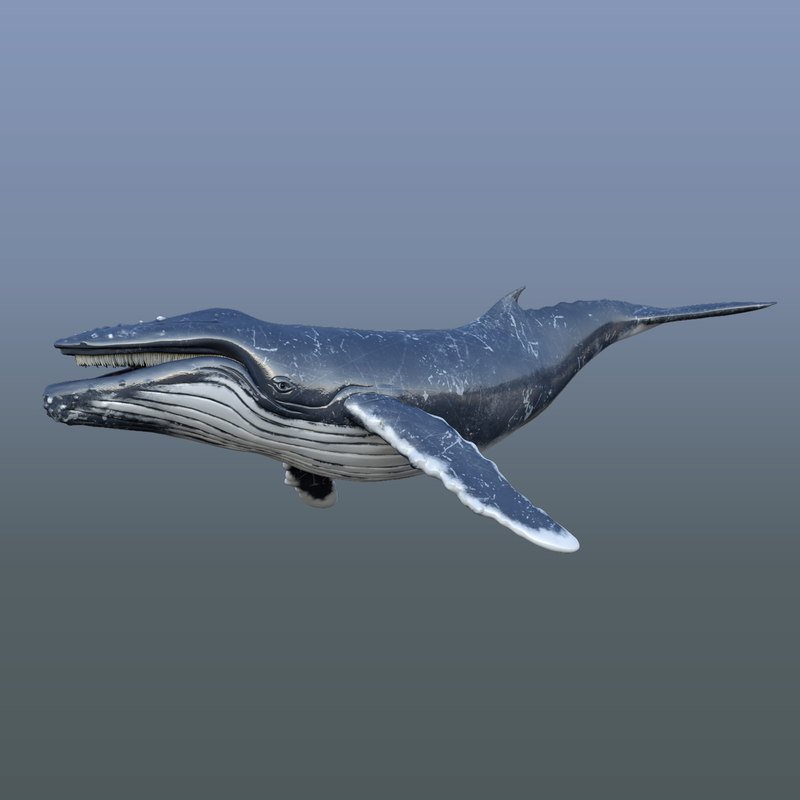 rigged humpback whale 3D