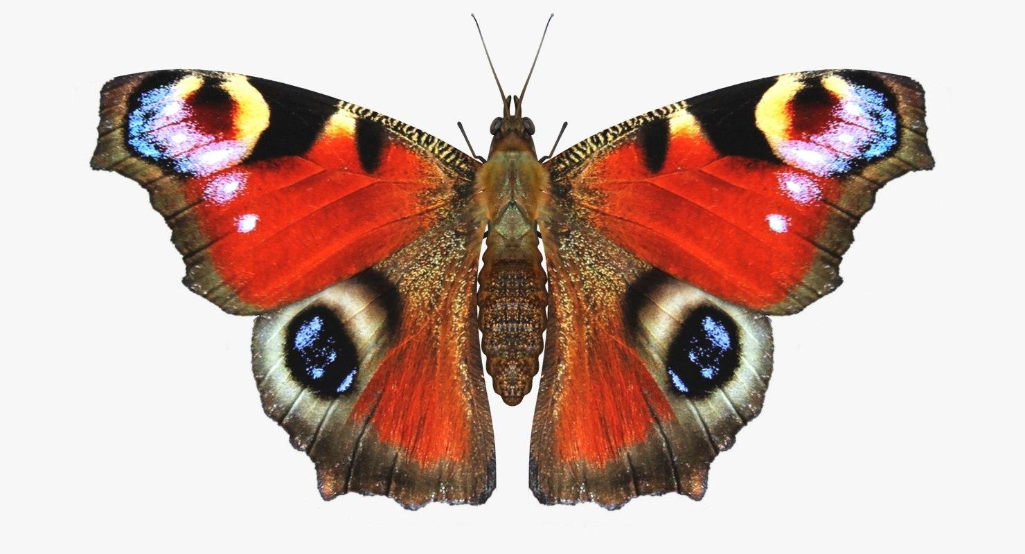 3D realistic peacock butterfly model