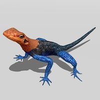 agamas africa color model