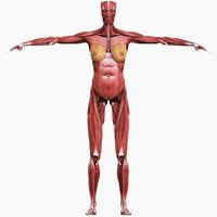 3D female muscular