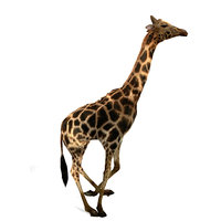 giraffe savannah run 3D model
