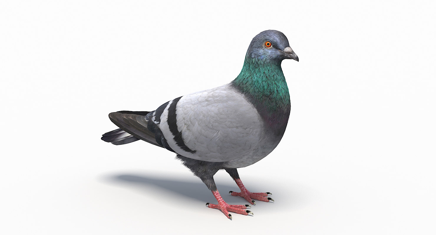 city pigeon rigging animation model