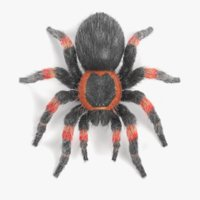 Tarantula (Mexican Redknee)