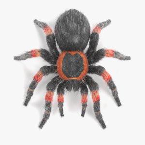 3D mexican redknee tarantula