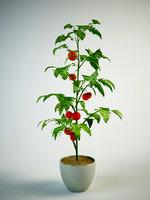 Tomato Solanum in pot