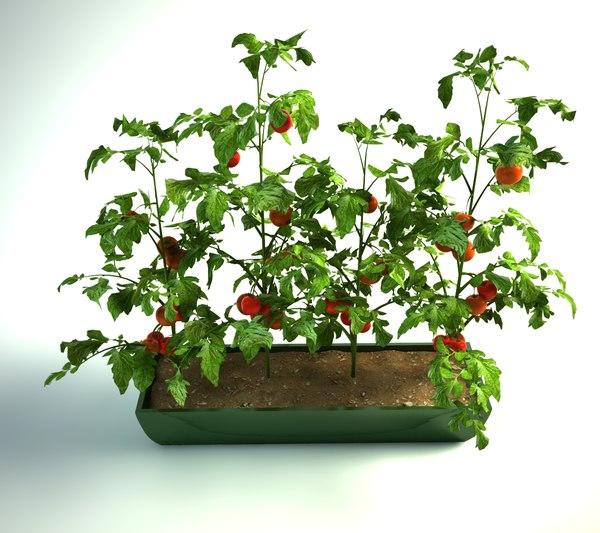 tomatoes pot model