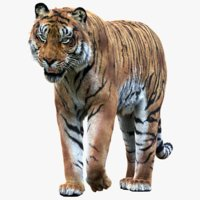 Tiger(Rigged, Fur)_1