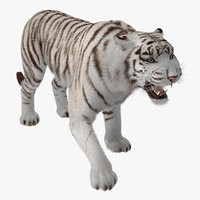 3D model white tiger roar fur