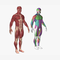 anatomy body model