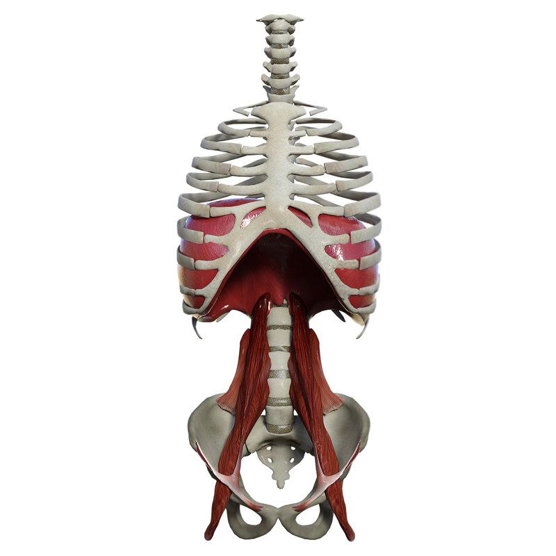 3D model diaphragm muscles