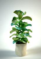 Ficus lyrata  fiddle-leaf fig