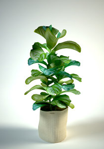 3D ficus white interior