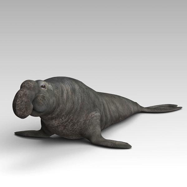 elephant seal sea model