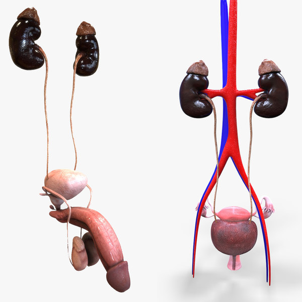 3D male female urinary
