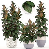 3D ficus trees model