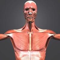 3D muscles body skeleton
