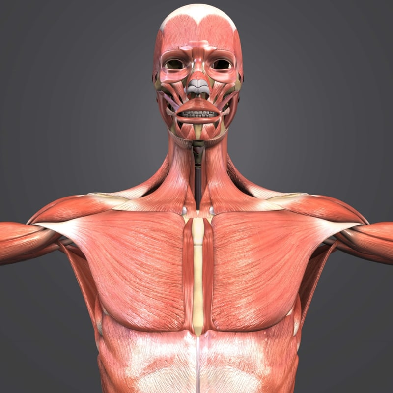 3D muscles body skeleton