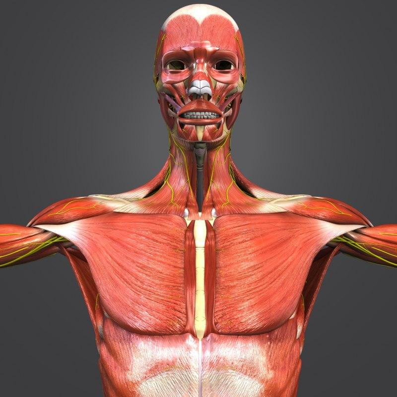 muscles nerves body skeleton 3D model