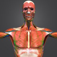 Muscles with skeleton, arteries, veins, nerves and lymphnodes