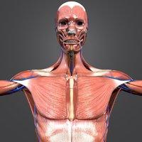 muscles body skeleton 3D model