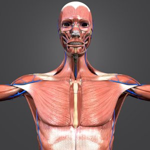 muscles body skeleton 3D model