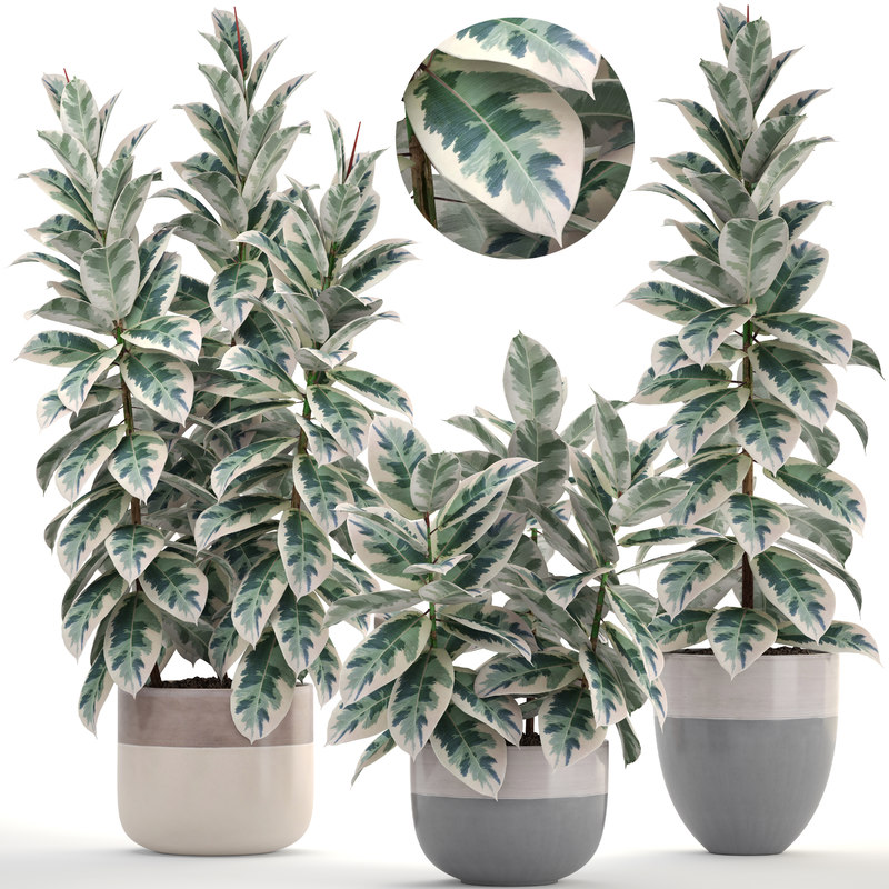 ficus trees model