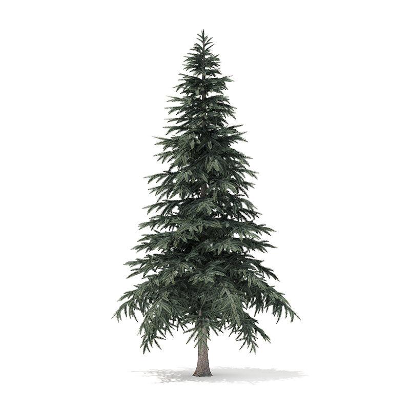 spruce tree 4 4m 3D