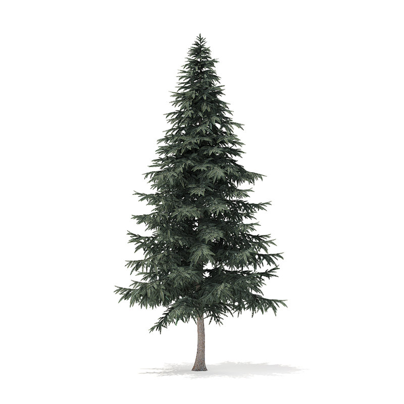 spruce tree 7 8m 3D model