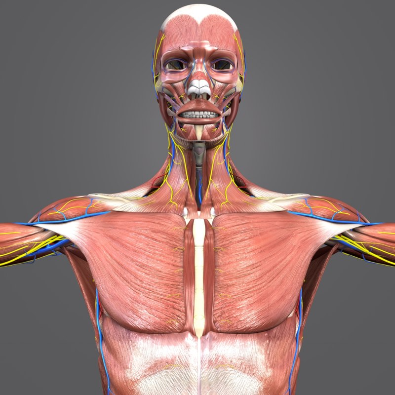 muscles nerves arteries veins model