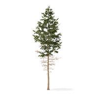3D pine tree 7 7m model