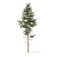Pine Tree 3D Model 10.2m