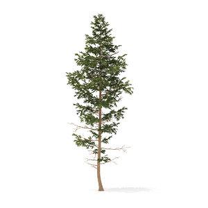 3D pine tree 14m