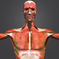 muscles lymph nodes skeleton 3D model