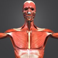 muscles arteries skeleton 3D