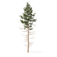 3D pine tree 16m