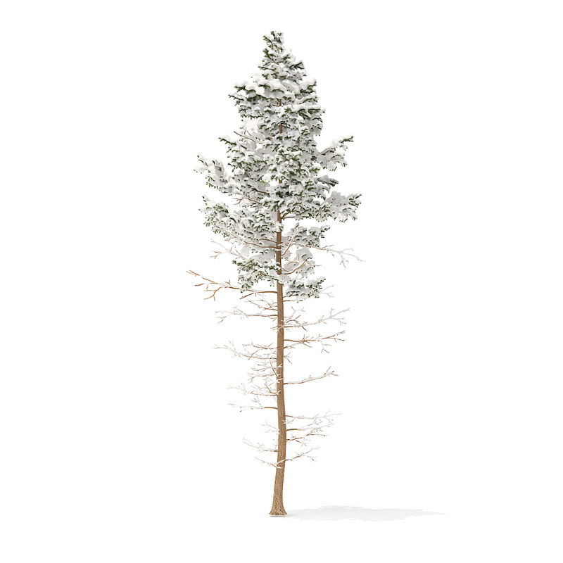 3D model pine tree snow 16m