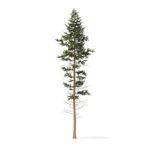 pine tree 25m 3D