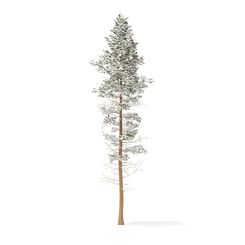 pine tree snow 25m 3D model
