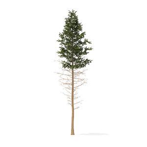 pine tree 28 5m 3D model