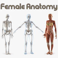 3D female anatomy model