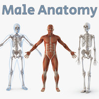 Male Anatomy 3D Models Collection