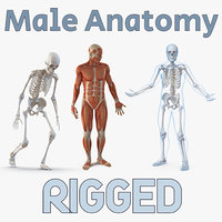 3D male anatomy rigged