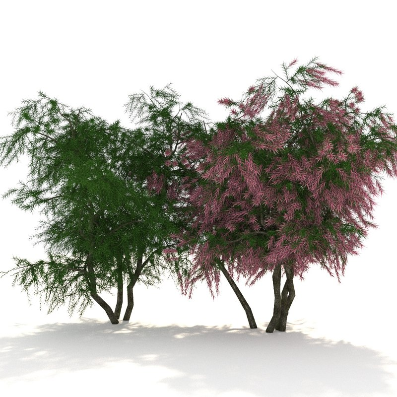 tamarix shrubs trees 3D model