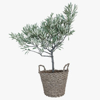 Olive tree in a  basket